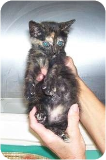 Domestic Shorthair Kitten for adoption in Osceola, Arkansas - Peaches