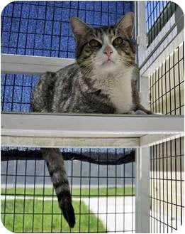 Domestic Shorthair Cat for adoption in Corpus Christi, Texas - Andrew