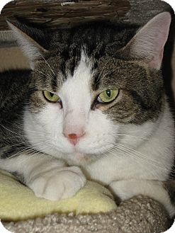 Domestic Shorthair Cat for adoption in Wheaton, Illinois - Prince