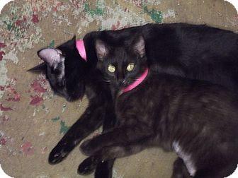 Domestic Shorthair Cat for adoption in Arkadelphia, Arkansas - Java