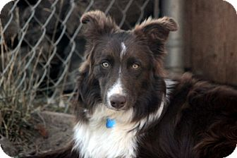 Border Collie Puppy for adoption in San Pedro, California - BLAYZE