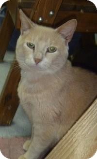Domestic Shorthair Cat for adoption in Hamburg, New York - Benson