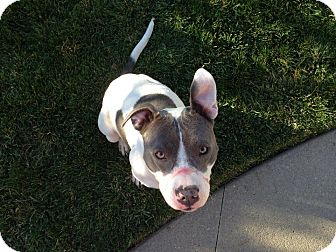 Pit Bull Terrier Mix Dog for adoption in Reno, Nevada - Sophia