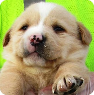 "Golden Retriever/Border Collie Mix Puppy for adoption in Oswego, Illinois - I'M ADPTD Adorables ""Alex"" Cra"