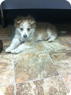 Jack Russell Terrier Mix Puppy for adoption in Darlington, South Carolina - Desiree