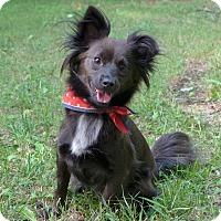 Adopt A Pet :: CocoBean - Mocksville, NC