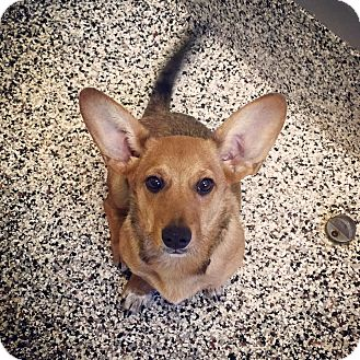 Welsh Corgi Mix Dog for adoption in Aiken, South Carolina - Oppie