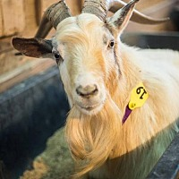 Adopt A Pet :: Goats! - Roanoke, VA