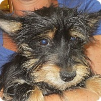 Adopt A Pet :: Sissy - Salem, NH