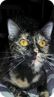 Domestic Shorthair Cat for adoption in Lawton, Oklahoma - PENNY