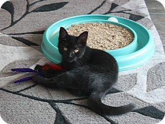 Domestic Shorthair Kitten for adoption in Warren, Ohio - Gifford