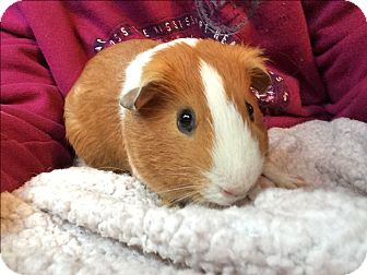 Guinea Pig for adoption in St. Paul, Minnesota - Kyle