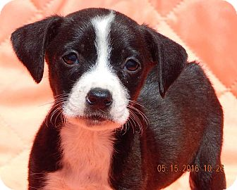 Labrador Retriever/Terrier (Unknown Type, Small) Mix Puppy for adoption in Williamsport, Maryland - Gidget (3 lb)