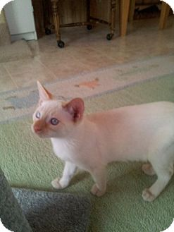 Siamese Kitten for adoption in Phoenix, Arizona - Elroy