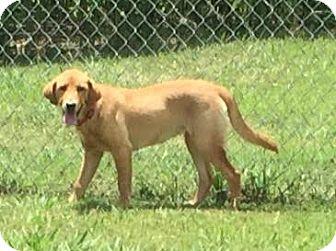 Golden Retriever/Labrador Retriever Mix Puppy for adoption in Kittery, Maine - Goldie