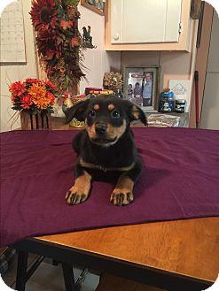 Labrador Retriever/Doberman Pinscher Mix Puppy for adoption in Glastonbury, Connecticut - Elsa