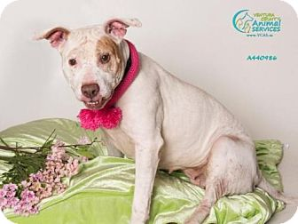 Pit Bull Terrier/Labrador Retriever Mix Dog for adoption in Camarillo, California - FLACA