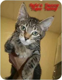 Domestic Shorthair Kitten for adoption in tucson, Arizona - Danny