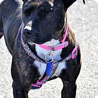 Adopt A Pet :: Harmony - Albemarle, NC