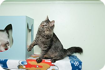 Maine Coon Cat for adoption in Chicago, Illinois - Spike