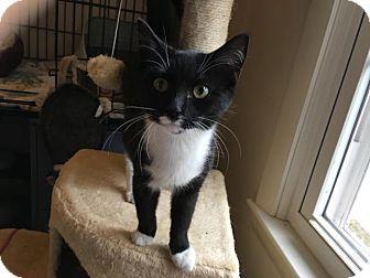 Domestic Shorthair Cat for adoption in Winston-Salem, North Carolina - Scarlett