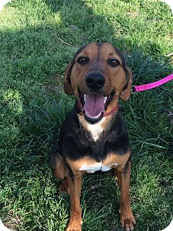 Hound (Unknown Type) Mix Dog for adoption in Laingsburg, Michigan - Dynasty