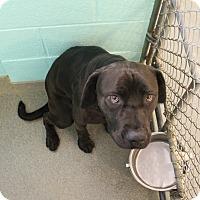 Adopt A Pet :: Pantera - Greensboro, NC