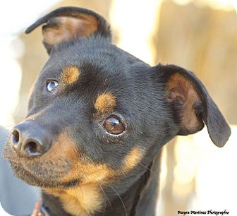 Miniature Pinscher Mix Dog for adoption in Chattanooga, Tennessee - McFly