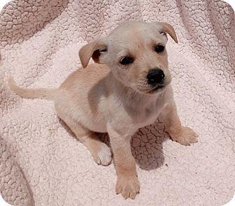 Australian Shepherd/Labrador Retriever Mix Puppy for adoption in Toronto, Ontario - Sassy