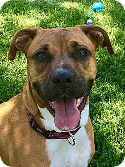 Boxer Dog for adoption in La Marque, Texas - Matada