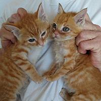 Adopt A Pet :: Chrissy - Saint Clair, MO