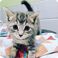 Domestic Shorthair Kitten for adoption in Sanford, North Carolina - Grayson (available 7/17)