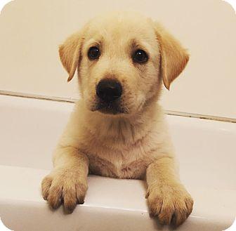 Golden Retriever/Labrador Retriever Mix Puppy for adoption in Davis, California - Shiro