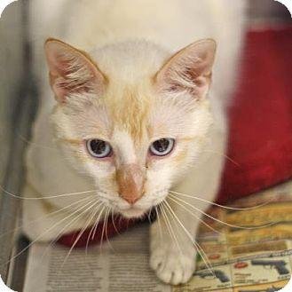 Domestic Shorthair/Domestic Shorthair Mix Cat for adoption in Bryan, Texas - Baxter