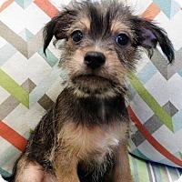 Adopt A Pet :: Jet - Waco, TX