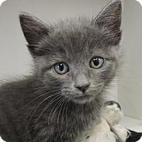 Adopt A Pet :: Jade - Massapequa, NY
