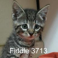 Adopt A Pet :: Fiddle - Manassas, VA