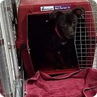 Adopt A Pet :: Cricket (Has Application) - Washington, DC