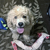 Cocker Spaniel Mix Dog for adoption in Alpharetta, Georgia - Tolkien