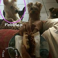 Adopt A Pet :: Pebbles - Ponte Vedra Beach, FL