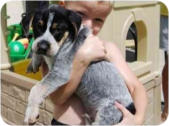 Cattle Dog/Blue Heeler Mix Puppy for adoption in Homestead, Florida - Rocky