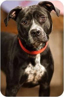 American Pit Bull Terrier Dog for adoption in Portland, Oregon - Dr. Zulu
