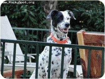 Dalmatian Mix Dog for adoption in Newcastle, Oklahoma - Hudson