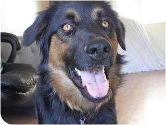 Australian Shepherd/Doberman Pinscher Mix Dog for adoption in Roosevelt, Utah - Shep