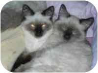 Ragdoll Kitten for adoption in Columbus, Ohio - Dior & Bogart
