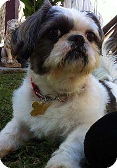 Shih Tzu/Lhasa Apso Mix Dog for adoption in Los Angeles, California - TUXX