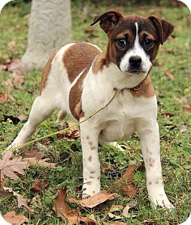 Mastiff/Australian Cattle Dog Mix Puppy for adoption in Beacon, New York - Isabella