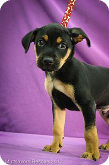 Basenji Mix Puppy for adoption in Broomfield, Colorado - Dasher