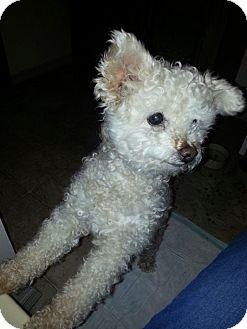 Poodle (Miniature) Dog for adoption in Oswego, Illinois - Marshmallow