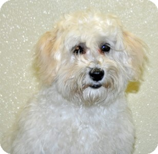 Poodle (Miniature) Mix Dog for adoption in Port Washington, New York - Eggdrop